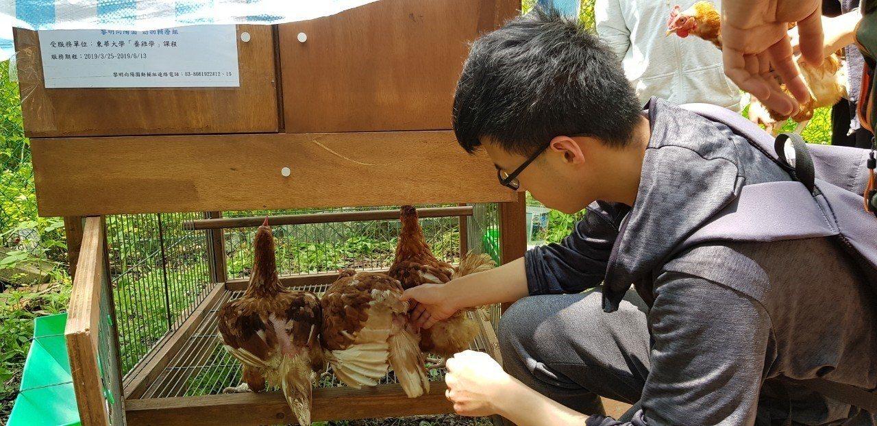 東華大學學生課程也來嘗試養雞,學生小心翼翼將蛋雞移至移動式雞舍內。圖/黎明向陽園...