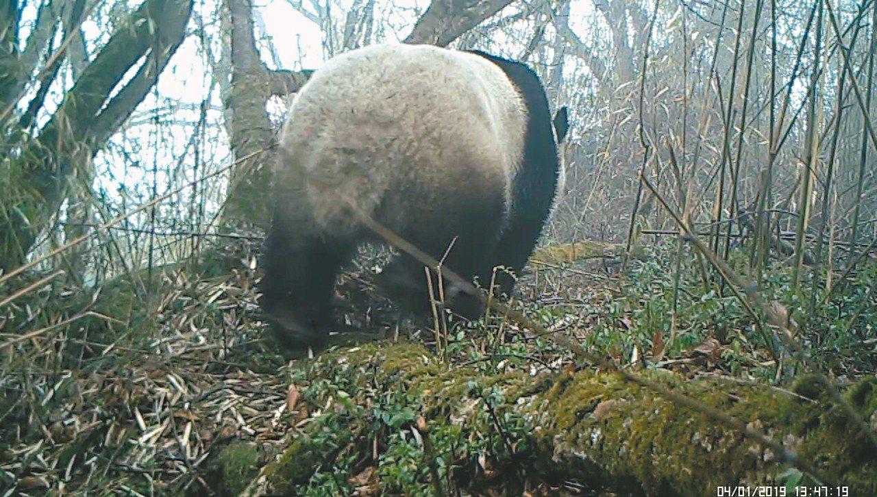 野生大熊貓背對著相機鏡頭,屁股一扭一扭地在樹林中行走。 圖/本報四川德陽傳真