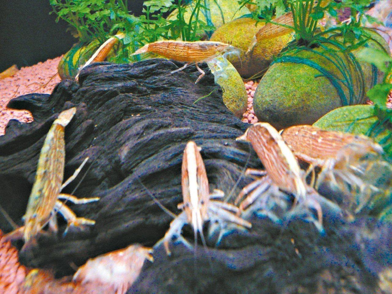 刺足仿匙蝦有天然木紋般亮麗的顏色,第一第二螯足特化成為扇形網狀構造,又名網球蝦。...