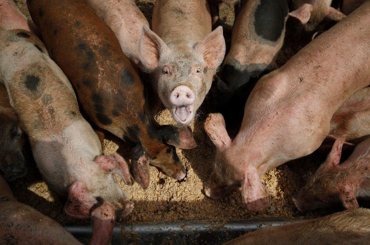 非洲豬瘟疫情在越南蔓延。 美聯社