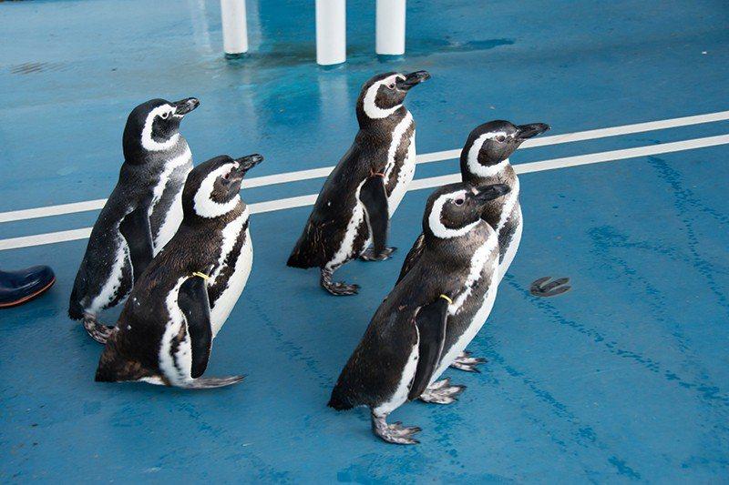 平日11:00、13:00及六日假11:00、14:00、15:30 是企鵝的散...