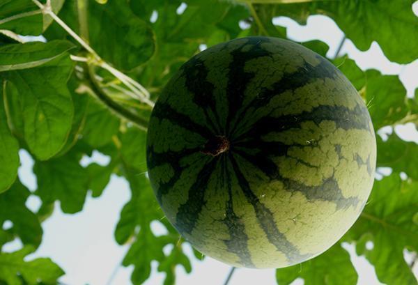 西瓜果臍窄小緊實,代表發育良好。 圖片來源/台灣好食材(提供:徐清銘)