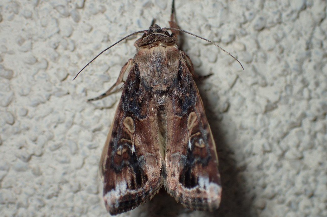 秋行軍蟲的成蟲與許多同屬蛾類相當接近,對一般人來說並不容易鑑識。 攝影/© Jo...