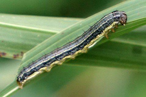 從「秋行軍蟲」一夕暴紅,談台灣有害生物風險評估與公眾知識落差