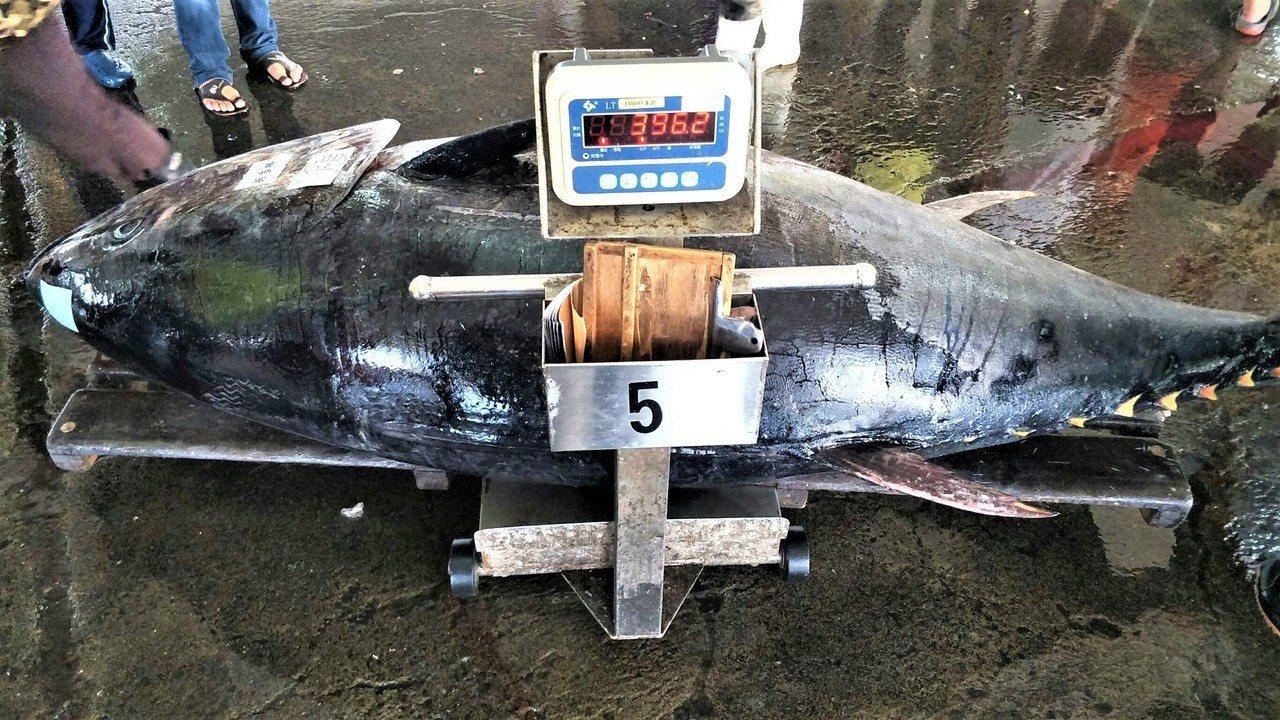 屏東東港魚市場今天又拍賣一尾重量396公斤的黑鮪魚,也是今年以來最重的黑鮪魚。圖...