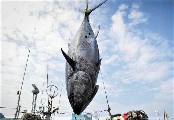 黑鮪魚進入漁汛季,東港魚市埸也傳出讓漁會振奮的消息,12日母親節拍賣出近十年來最...