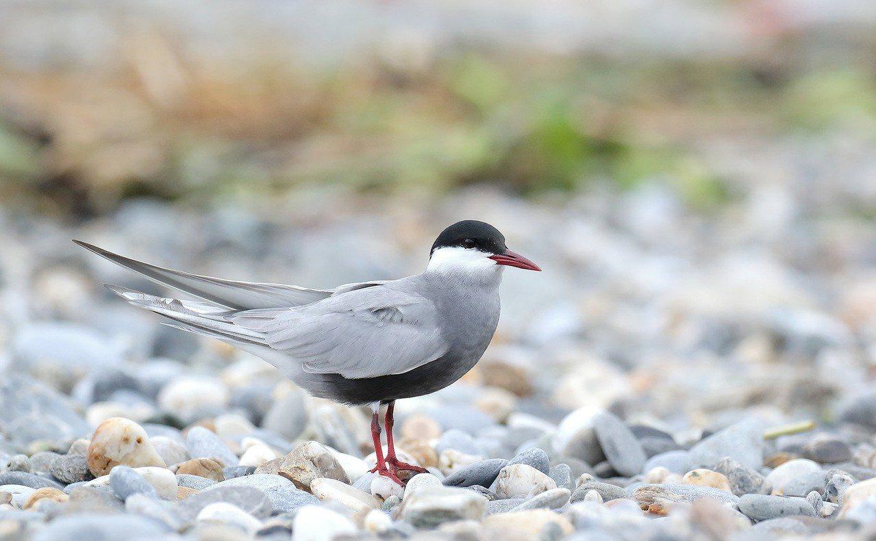 黑腹燕鷗每年4、5月會過境花蓮溪出海口。圖/愛鳥人士提供