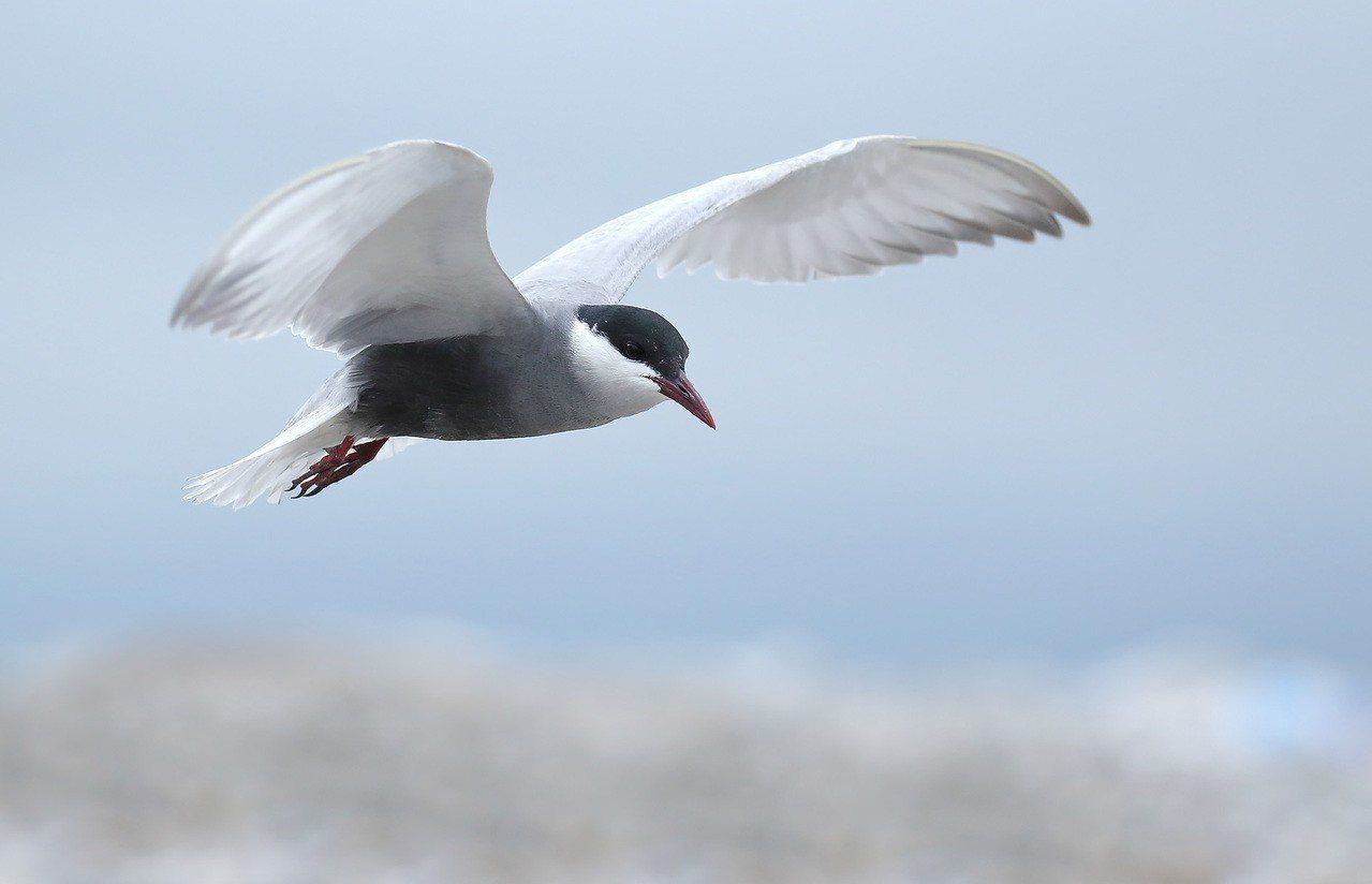 每年4、5月有上千隻黑腹燕鷗飛到花蓮過境。圖/愛鳥人士提供