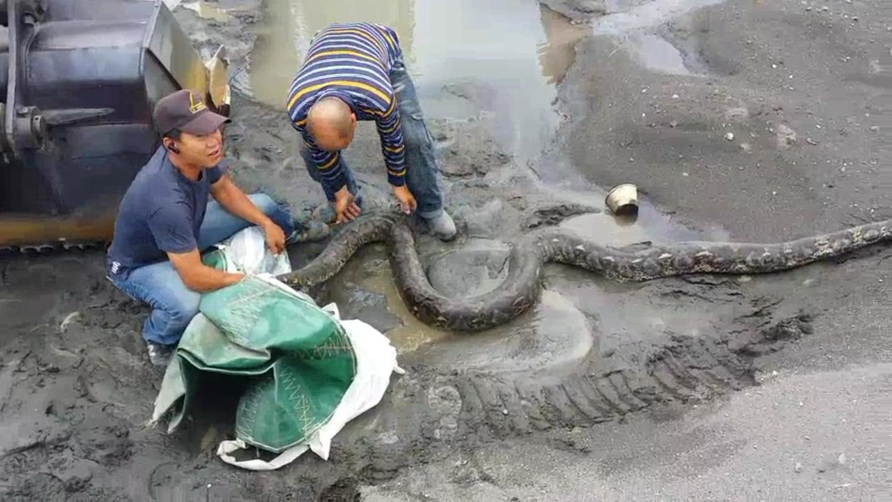 幾名工人合力抓起巨蟒。圖/翻攝自臉書社團