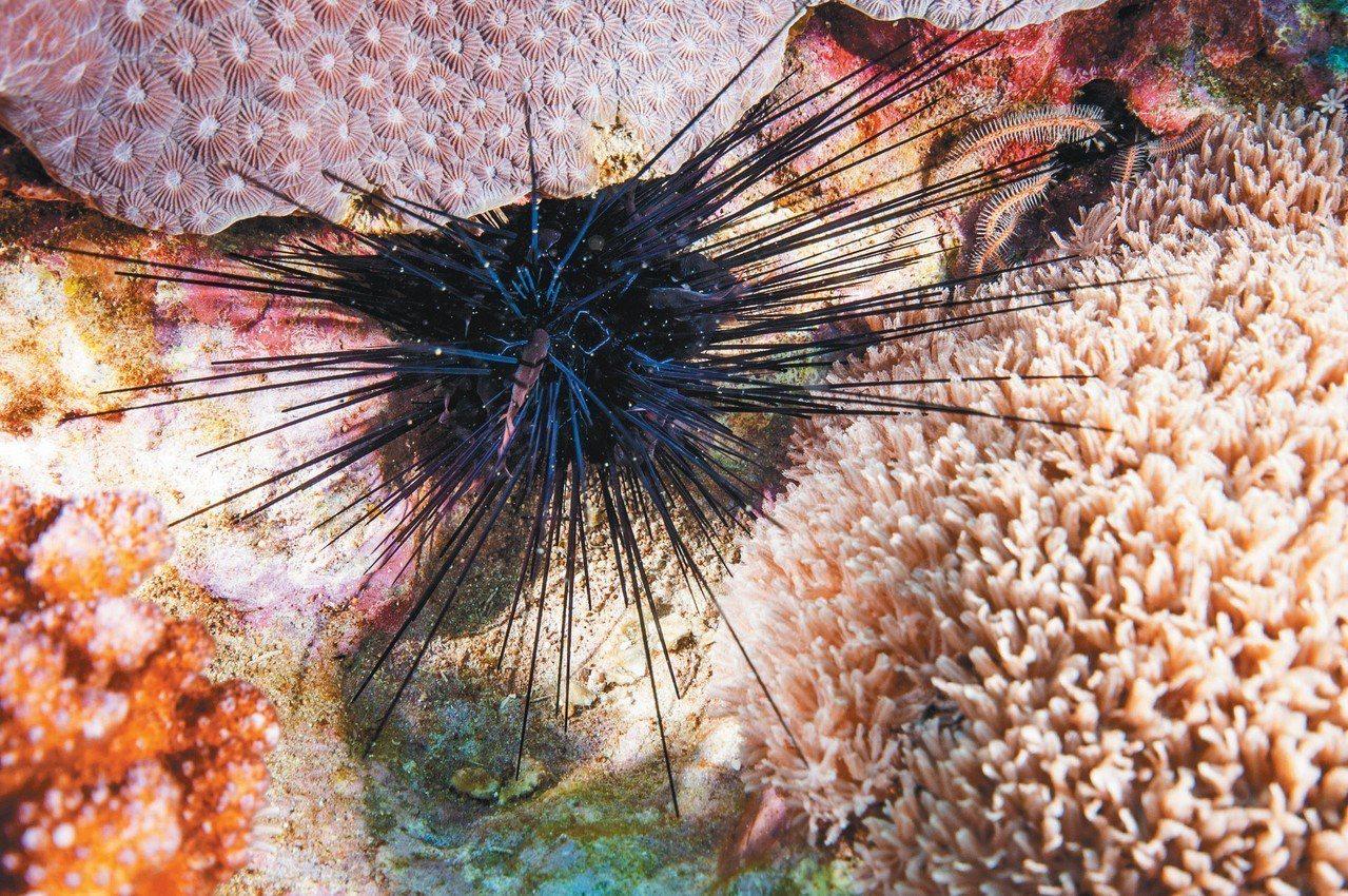 天竺鯛躲在海膽刺間。 攝影/布朗尼飛魚