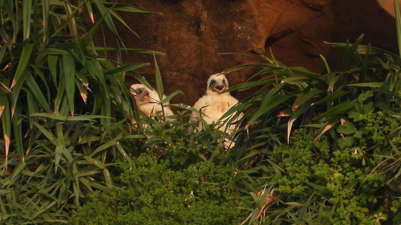 基隆鳥會和新北市動保處今天表示,由基隆鳥會及瑞芳導覽協會執行的遊隼守護計畫圓滿完...