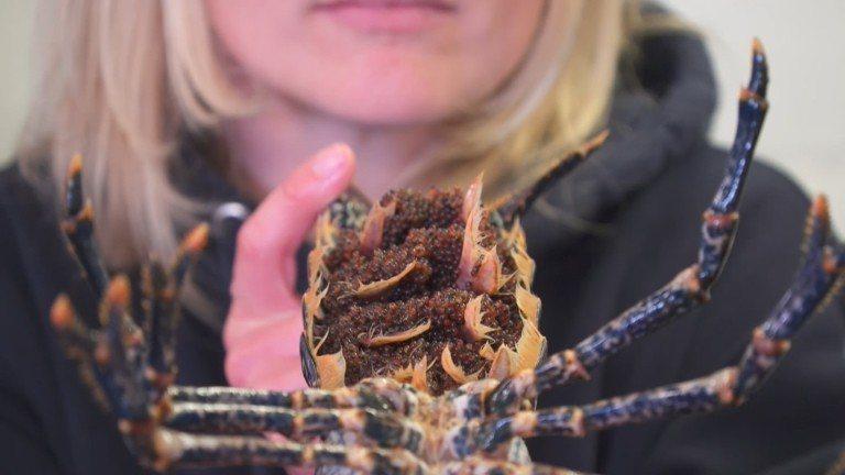 為挽救捕獲量逐年下降的野生歐洲龍蝦,英國生物學團隊創建全新人工養殖計畫。《路透》...
