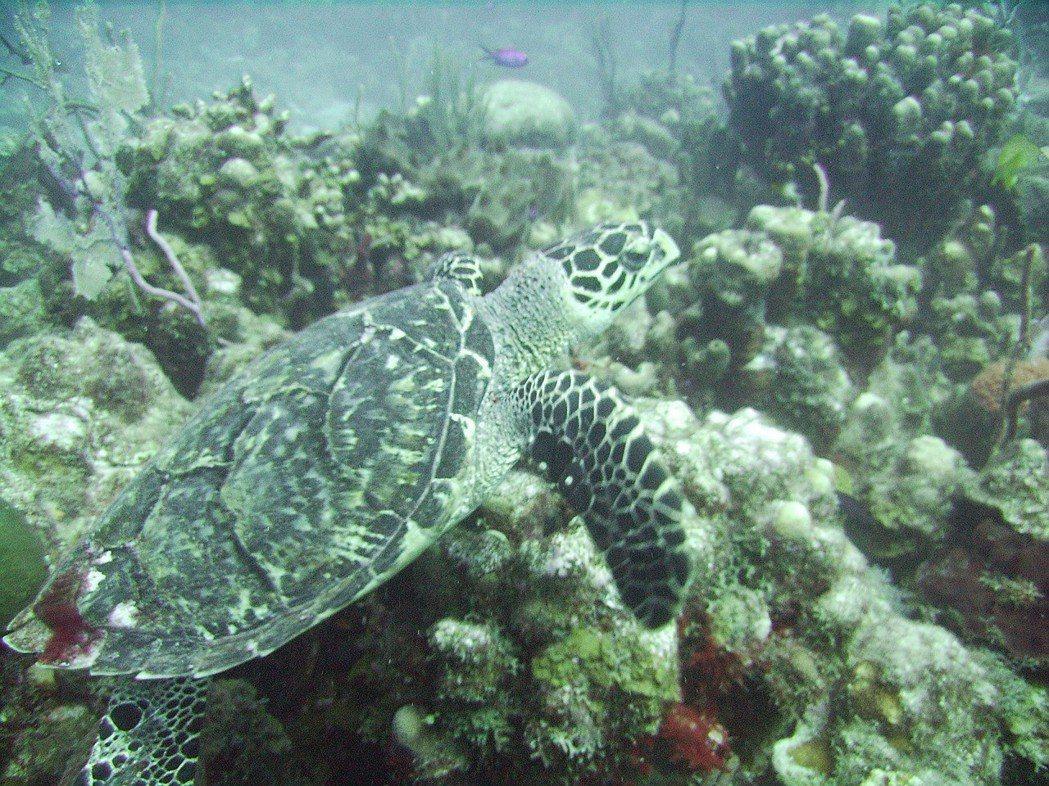 玳瑁,7種海龜中的一種,也是唯一一種不是以生物特徵,而是以工藝材料來命名的海龜。...