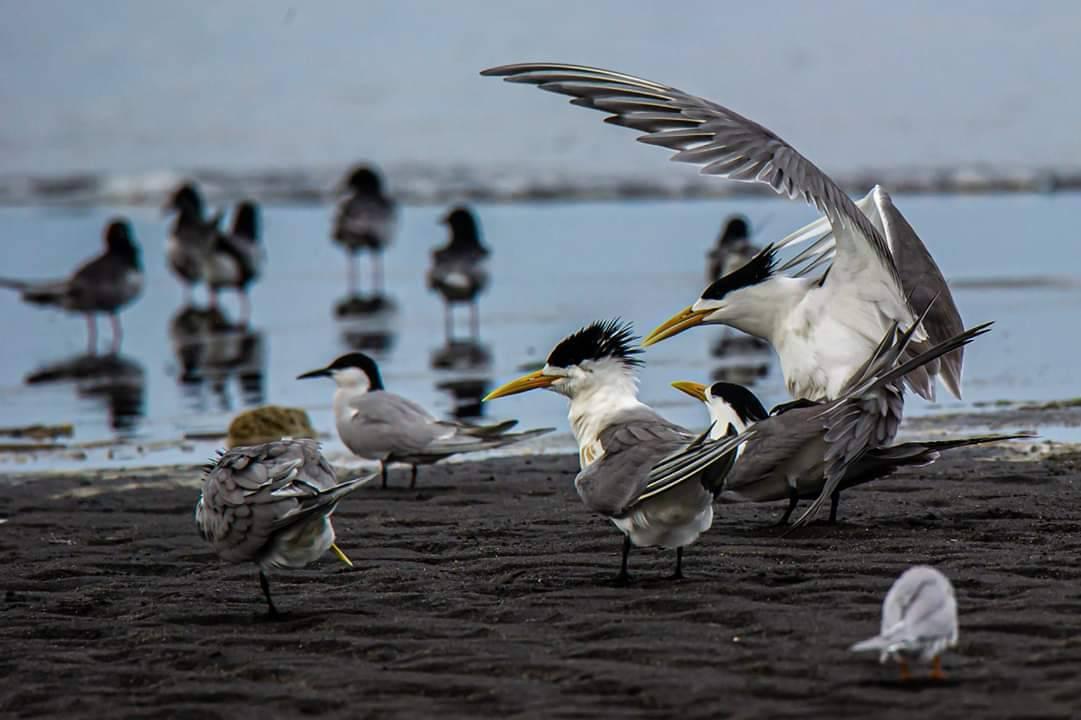 宜蘭縣五結海邊昨天下午出現大群燕鷗求偶與繁殖。圖/賴姓鳥友提供
