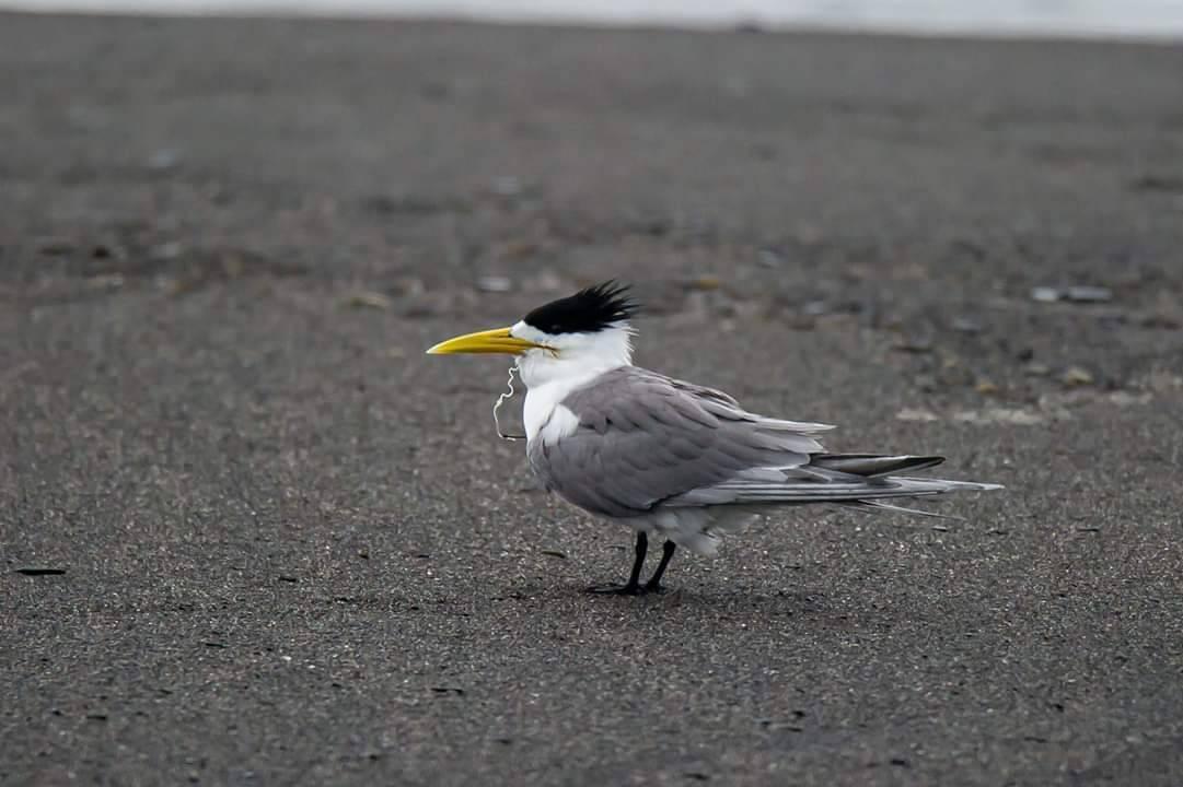 賴姓鳥友記錄生態時,赫然發現,有隻鳳頭燕鷗成鳥竟然在嘴巴掛著一條魚線,疑似誤吞魚...
