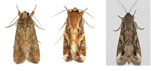圖為秋行軍蟲成蟲(左為雌蛾,中、右為雄蛾)。圖/雲南雲縣人民政府公開資訊網