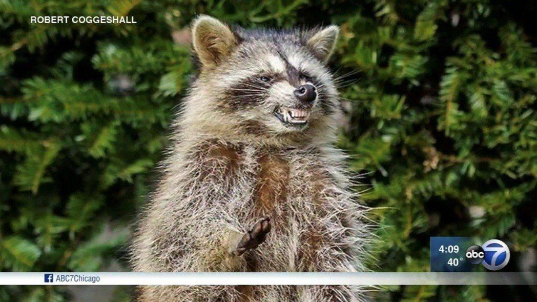 殭屍浣熊特徵是露出牙齒、用後腿蹣跚行走。 圖/ABC芝加哥新聞頻道截圖