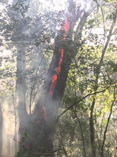信義鄉巒大山區2月因為乾旱少雨引發森林火警,巨木起火需以鏈鋸移除,避免火勢蔓延。...