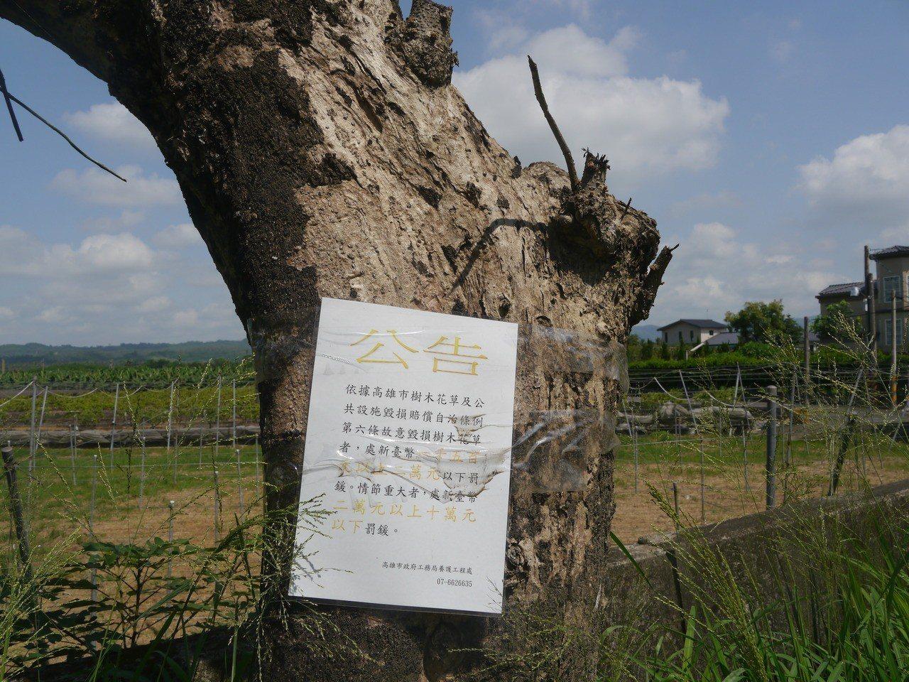 高市府養工處在樹身張貼公告。記者徐白櫻/攝影