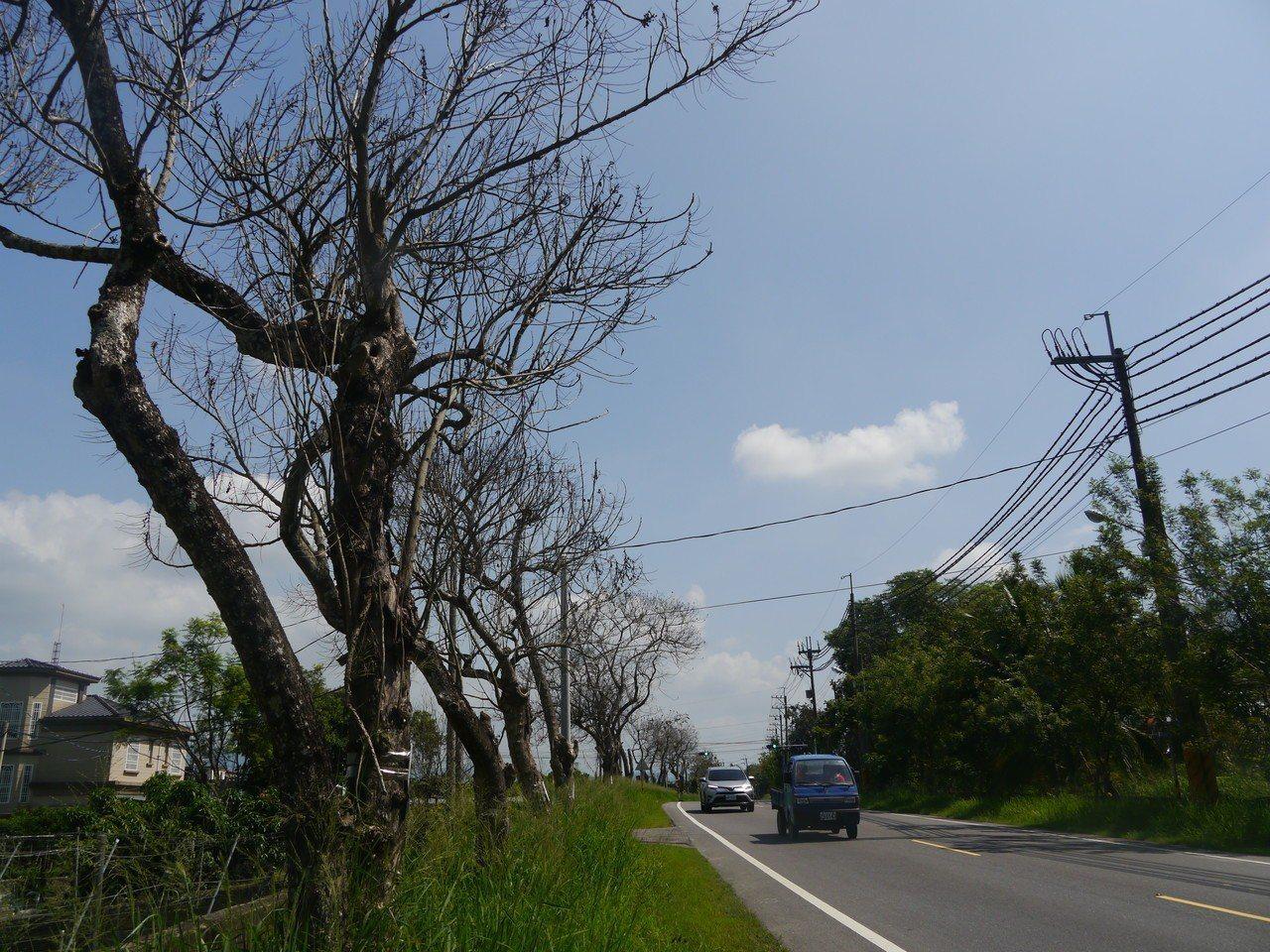 月光山隧道杉林端道路的路樹疑遭人毒害,整排路樹枯黃瀕死。記者徐白櫻/攝影