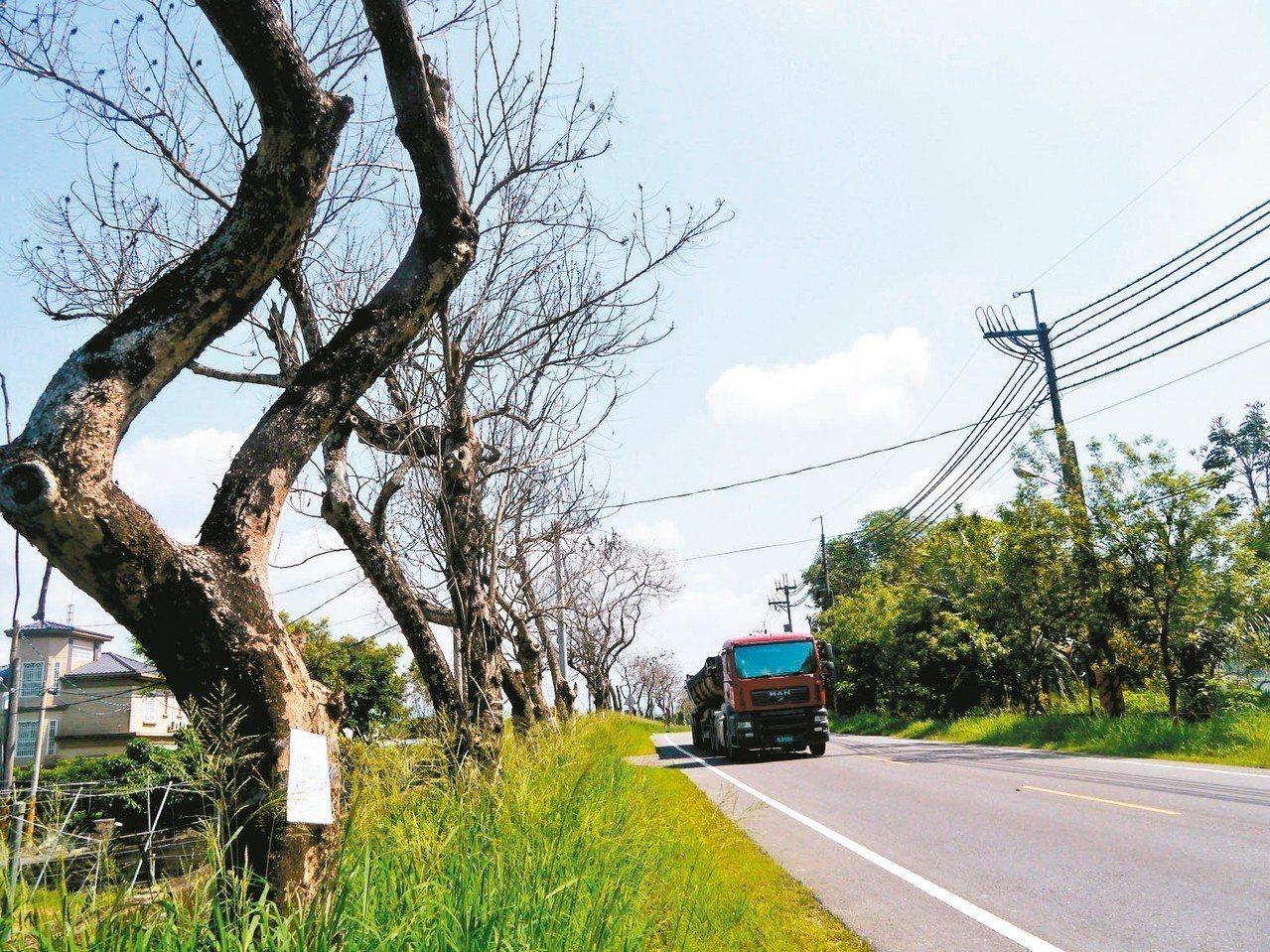 高市月光山隧道杉林端道路的整排路樹瀕臨死亡。 記者徐白櫻/攝影