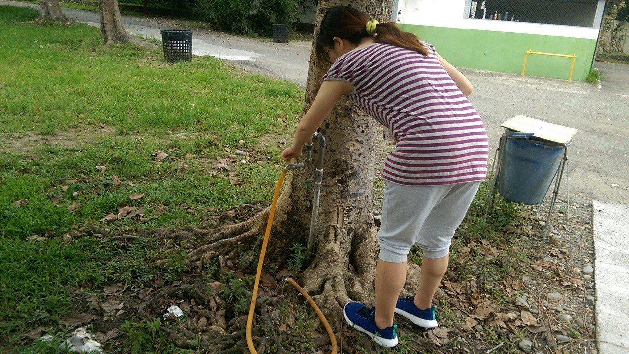 台東市區一所國中校園內,有一棵近40年的菩提樹,竟有水龍頭管線從樹根下接上來,打...
