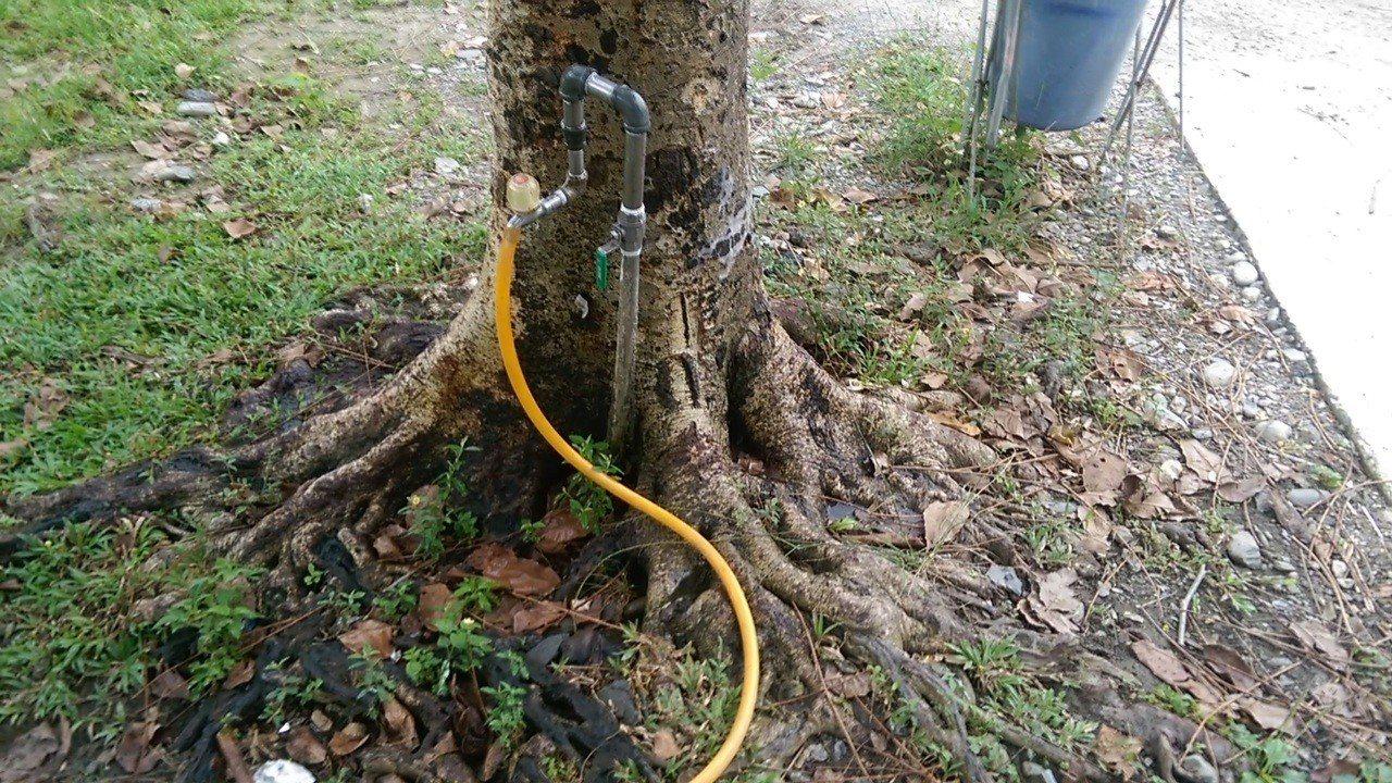 菩提樹根將水管線包覆起來,像是管線直接插進樹根,冒出源源不絕的水。記者尤聰光/攝...