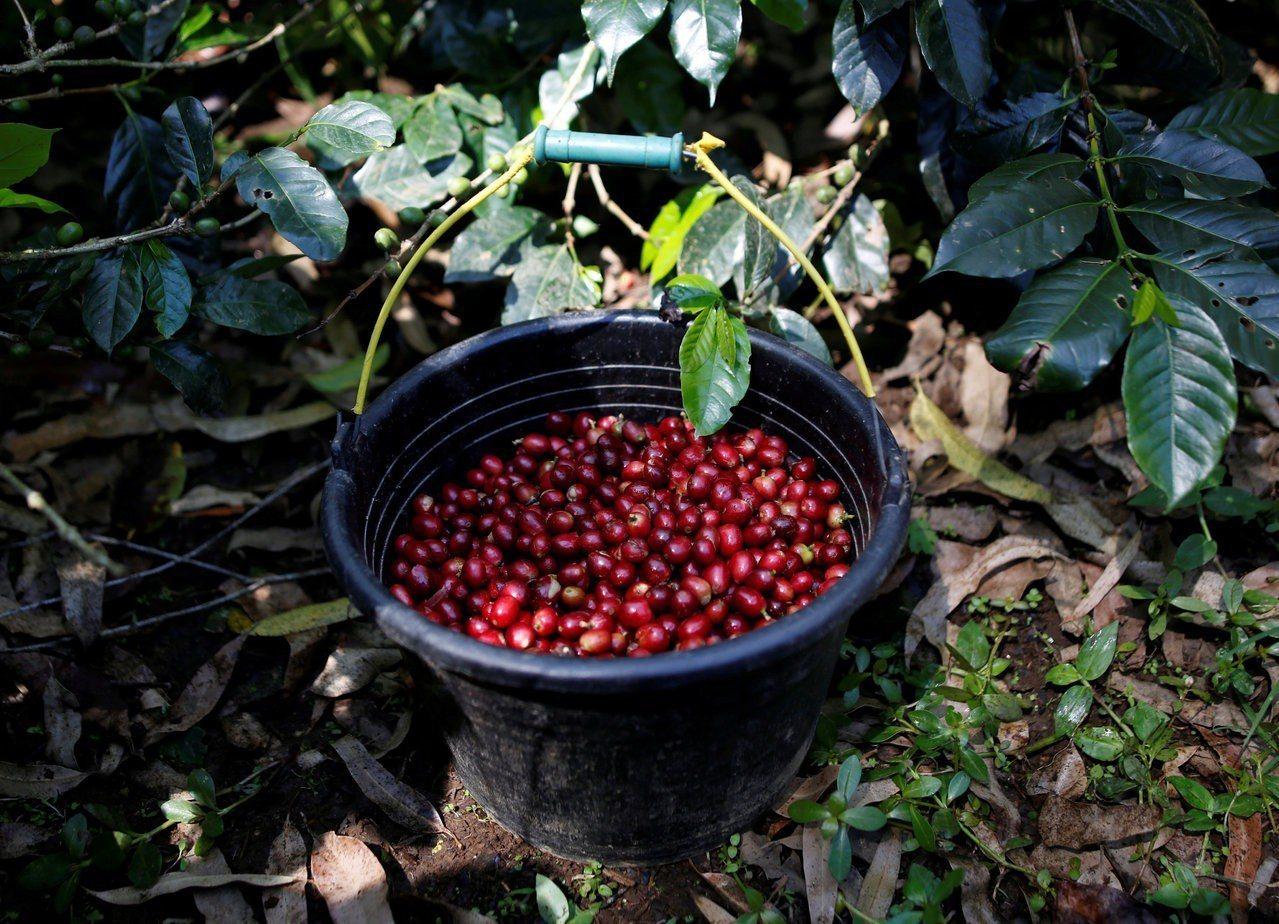 印尼西爪哇省一個咖啡莊園內9日剛收成的阿拉比卡咖啡果實。路透