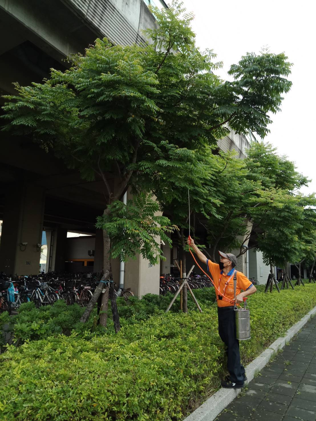 員林火車站廣場的台灣欒樹也遭荔枝椿象攻占,車站找清潔公司噴藥防治的情形。圖/員林...