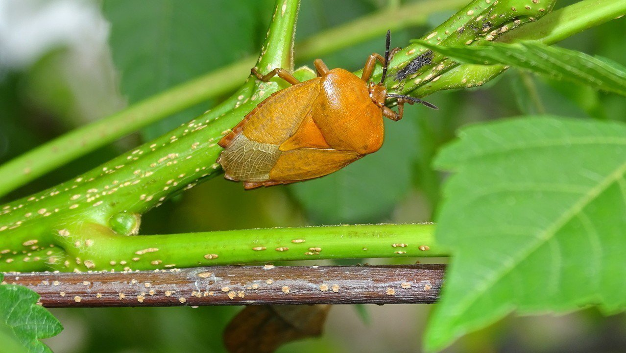 員林火車站廣場的台灣欒樹,也出現荔枝椿象蟲影,車站請人噴藥防治,這幾天下雨造成藥...