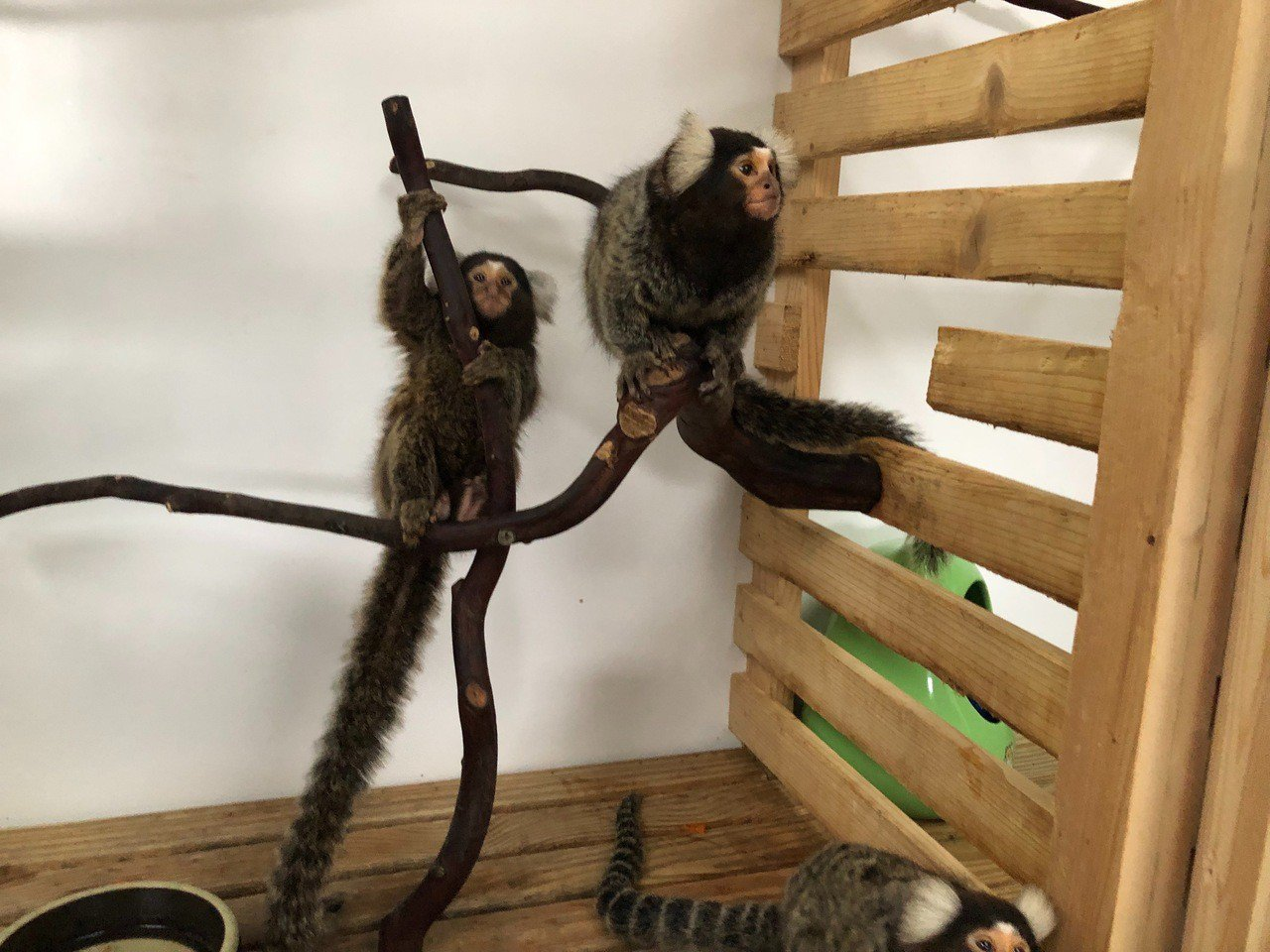 草屯鎮九九峰可愛世界,引進來自南美洲的迷你猴,相當可愛。記者江良誠/攝影