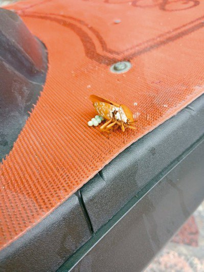 賴姓女網友上傳她把機車停在員林車站停車場,荔枝椿象竟在腳踏墊產卵。 記者何烱榮/...