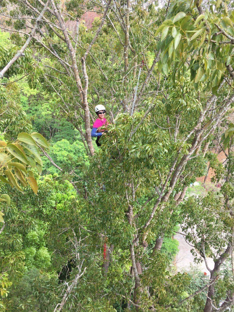 林業採種員攀爬30公尺高樹採種。記者吳淑玲/攝影