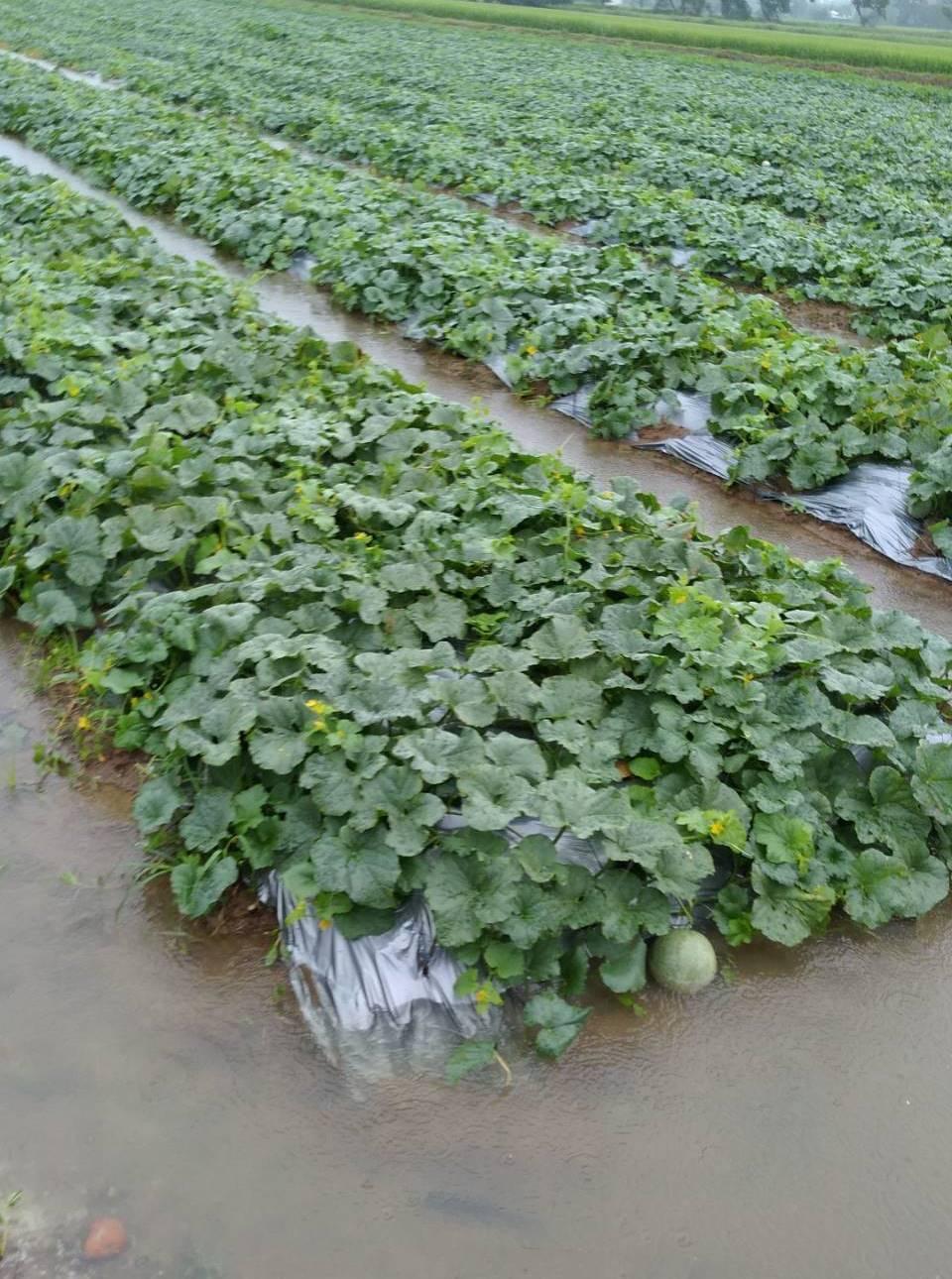 新豐鄉的農業特產洋香瓜、西瓜及哈蜜瓜的瓜田,也因大雨轟炸而嚴重積水。圖/讀者提供