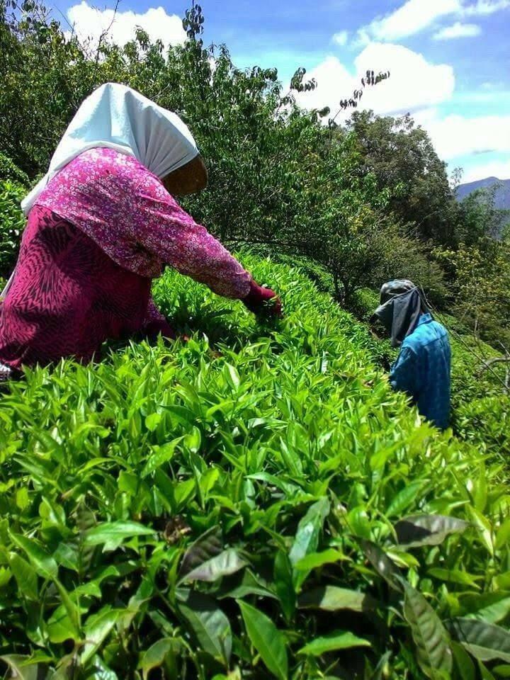 高雄市政府農業局今年要積極投入輔導在地茶農推廣茶產業。圖/高雄市農業局提供