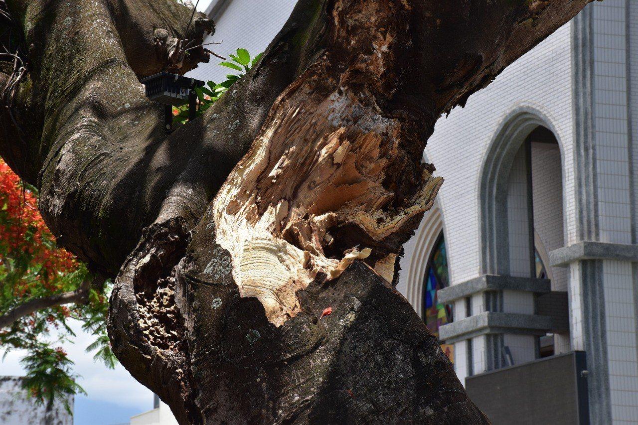 鳳凰木疑似支撐不住,導致枝幹斷裂。記者王思慧/攝影