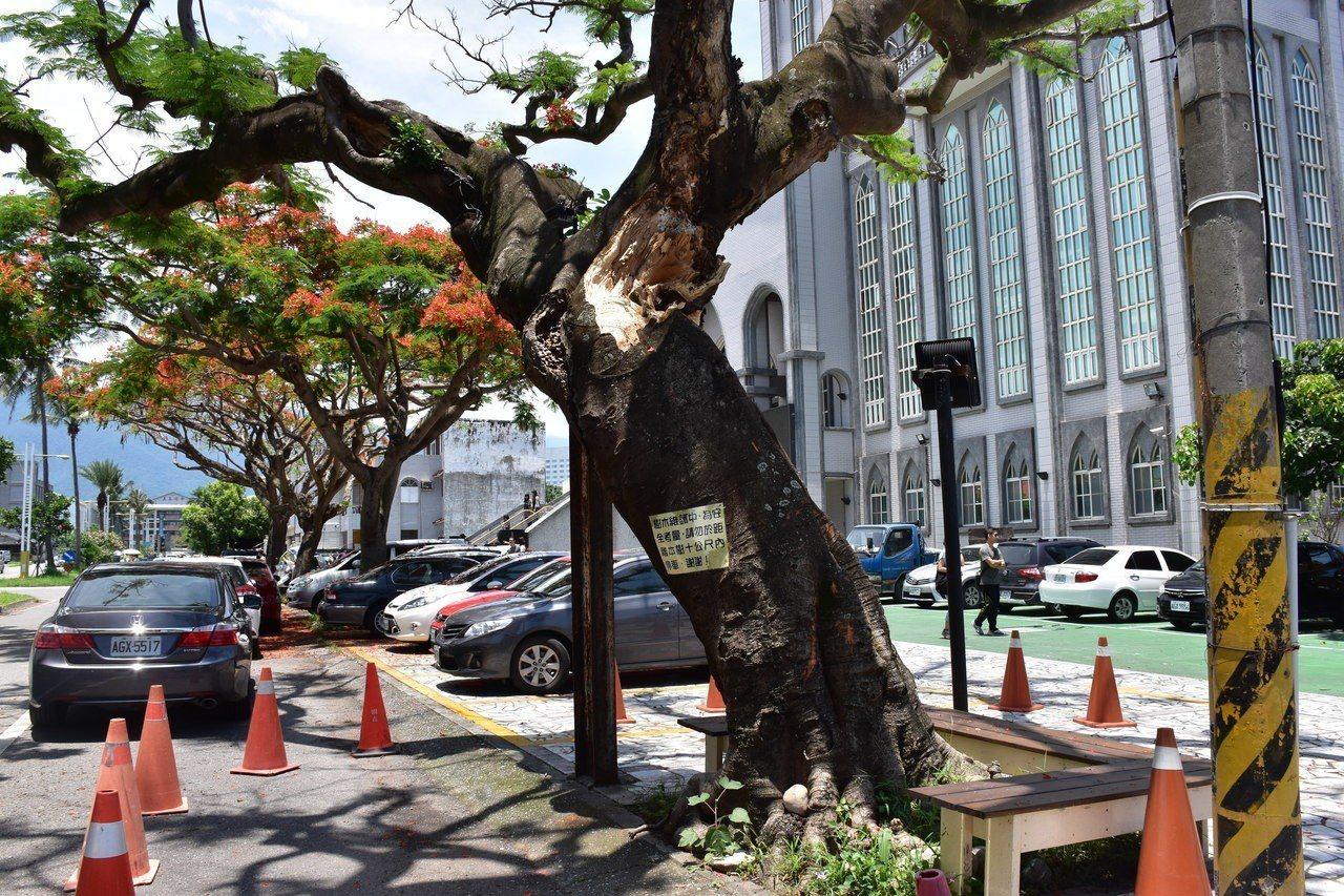 避免鳳凰木突倒下壓傷人車,花蓮市公所已設置三角錐。記者王思慧/攝影