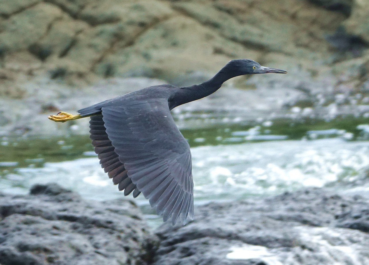 基隆嶼上也有不少動物生態供觀賞,圖為岩鷺。圖/基隆鳥會提供
