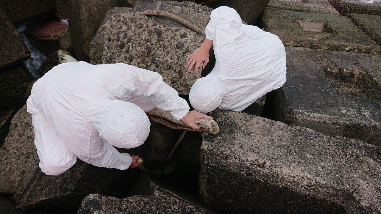 海巡署今天接獲通報核一廠出水口消波塊間有一具疑似腐爛豬隻屍體,市府動保處人員查看...