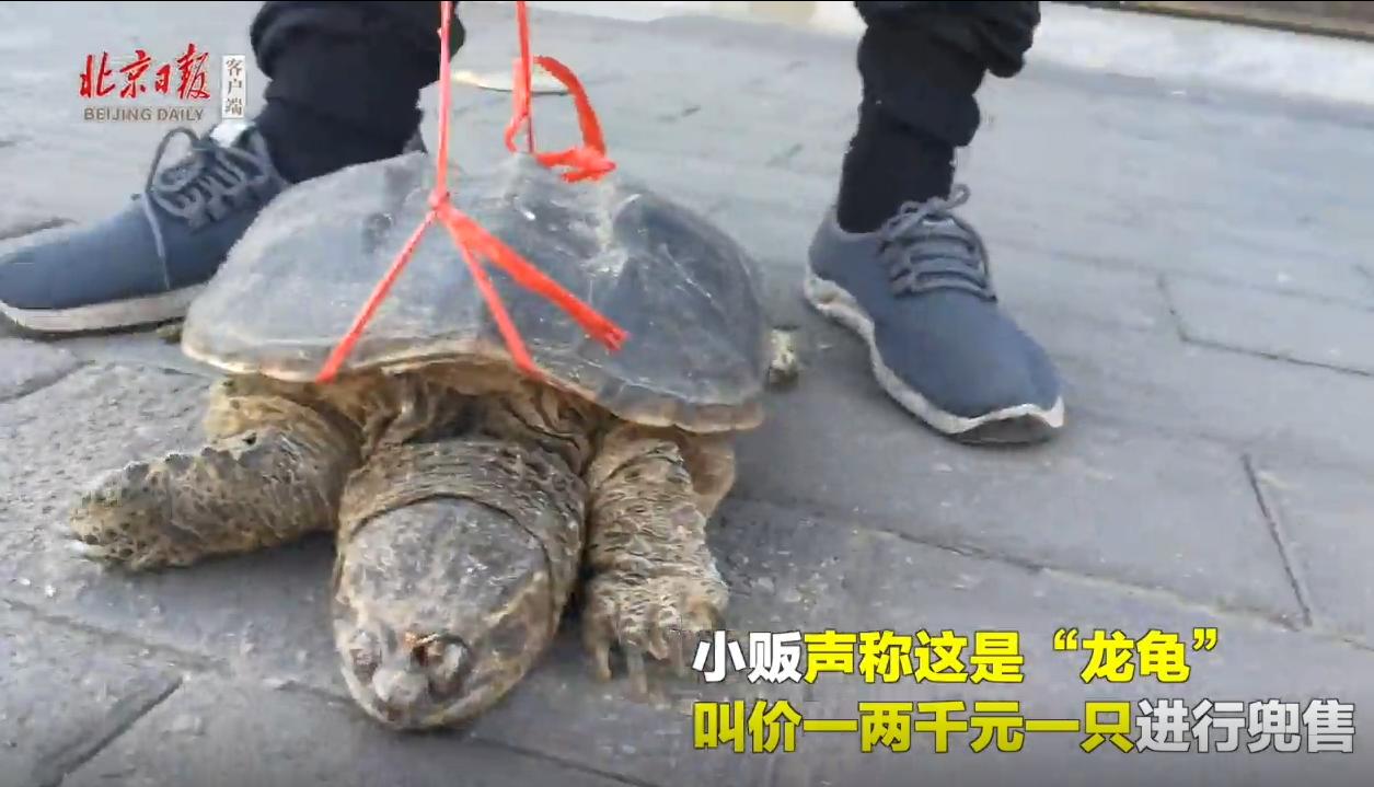北京市雍和宮附近出現有商人利用民眾的善心,令其花錢買烏龜放生。圖/北京日報視頻截...