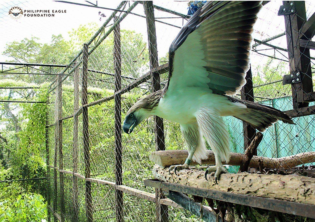 菲律賓出借國寶鷹給新加坡裕廊飛禽公園菲律賓環境暨天然資源部20日與新加坡野生...