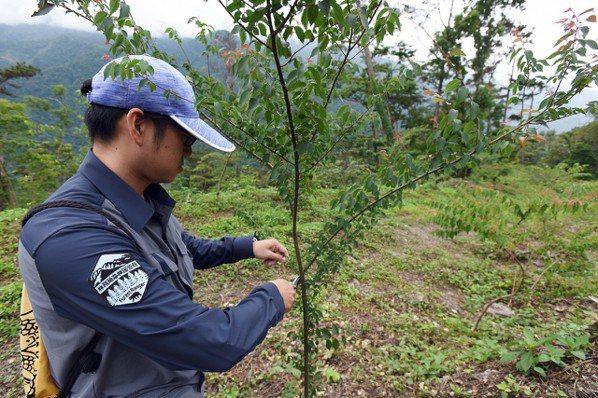 林務局屏東林區管理處森林護管員會視苗木生長狀況,適時修剪。 日月光文教基金會提供