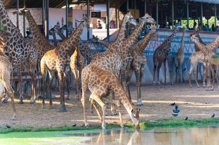 賽佛瑞野生動物世界。圖/泰國觀光局提供