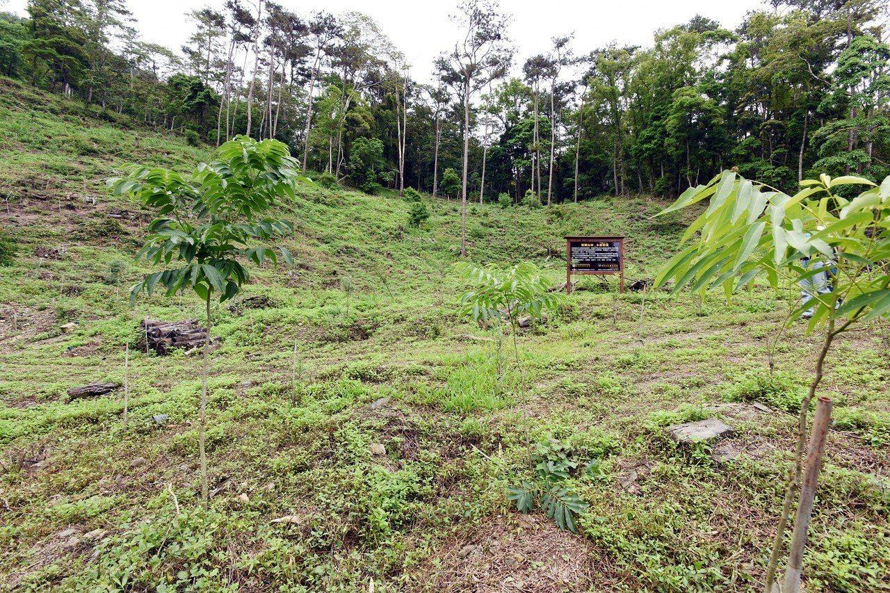 在林務人員專業照護下,荖濃溪事業區第102林班國9老化、劣化造林地,小樹苗成長超...