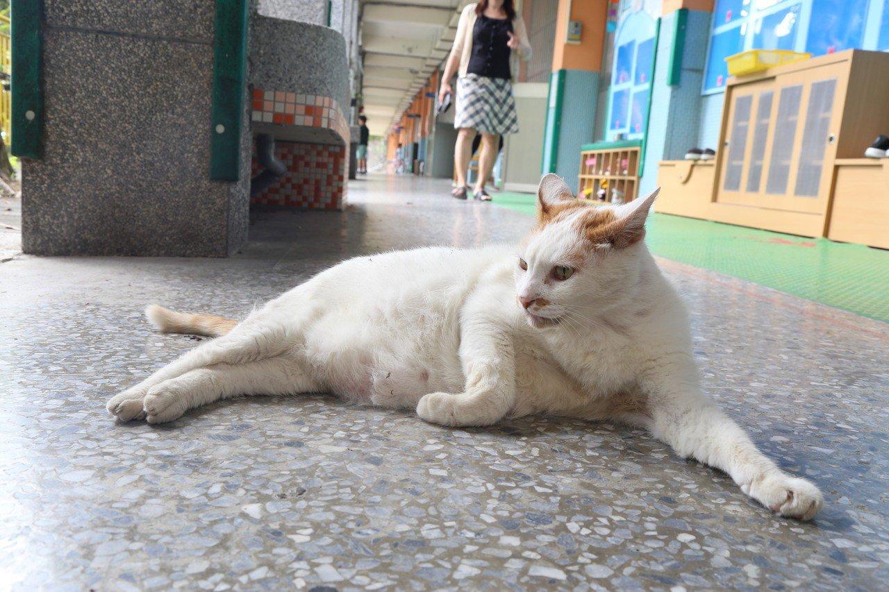 16歲老貓DUDU,是不少溪山校友的共同回憶,返校必問嘟嘟近況。 圖/聯合報系資...