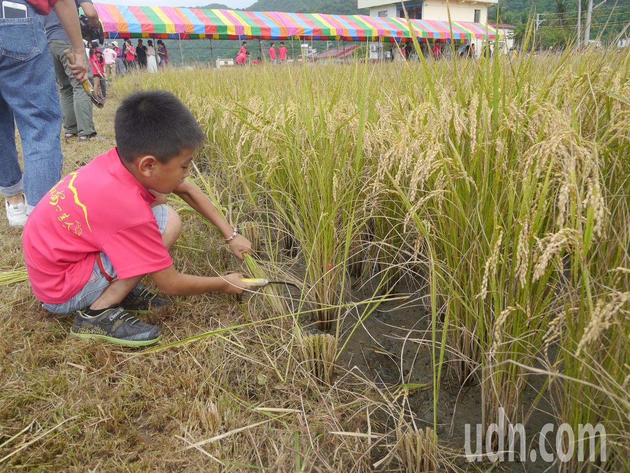 美濃福安國小種植4分農地稻作,學童學習用鐮刀收割稻米。記者徐白櫻/攝影