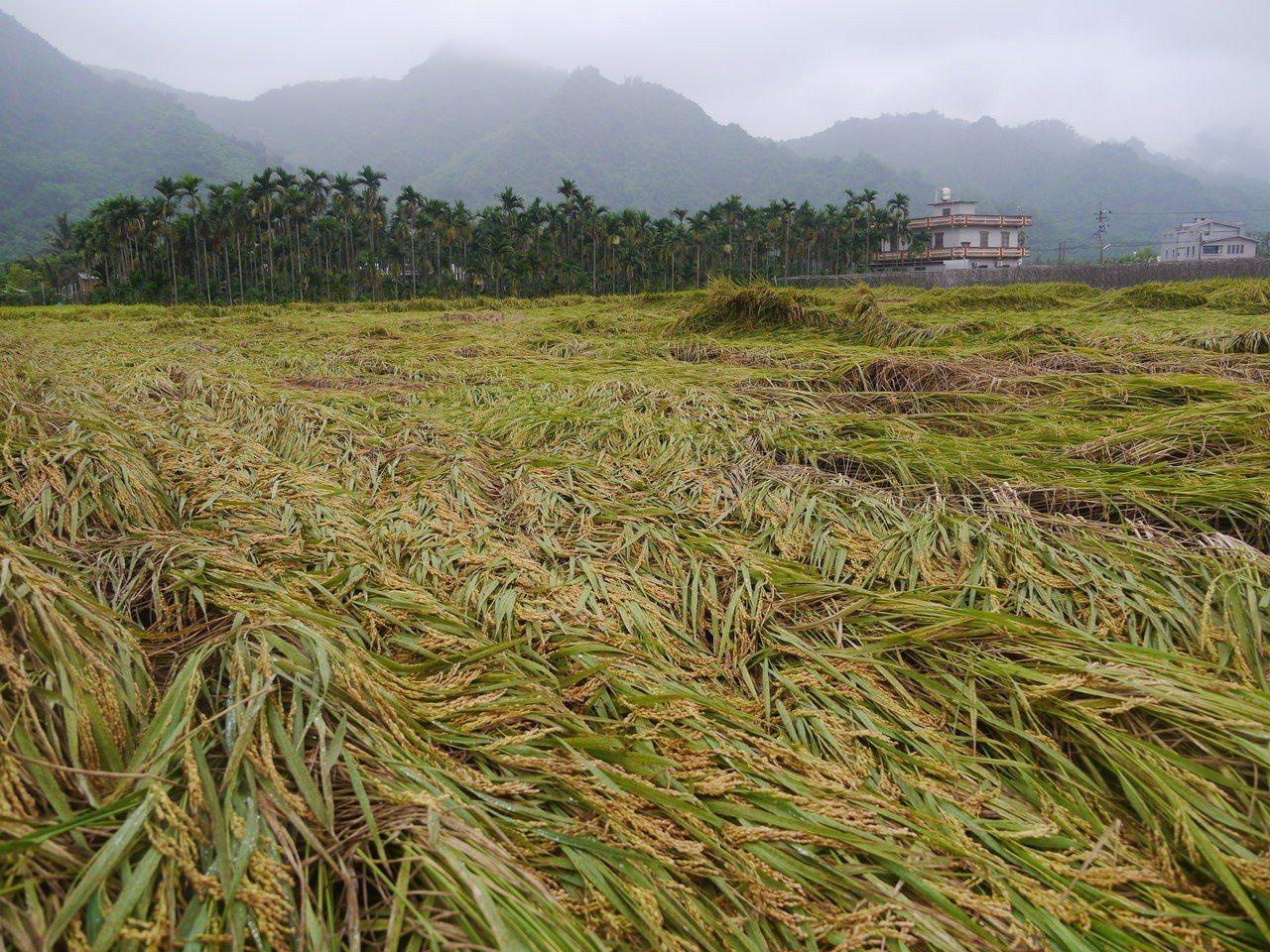 美濃稻田損失慘重,福安地區一處即將採收的稻米幾乎全數倒伏在地。記者徐白櫻/攝影