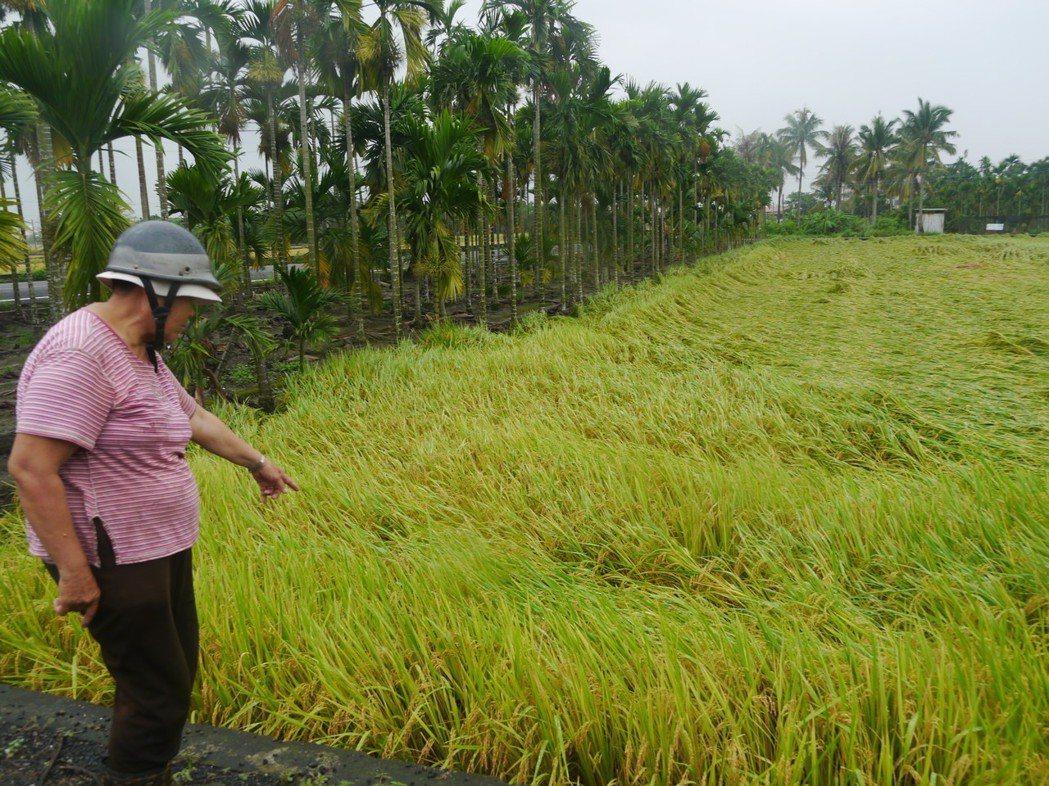曾姓女農不捨稻田被大雨「打趴」,擔憂損失慘重。記者徐白櫻/攝影