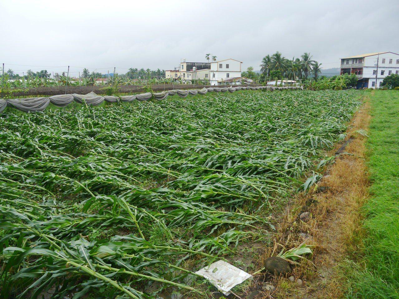 杉林區一處玉米田因豪雨侵襲全數傾倒。記者徐白櫻/攝影
