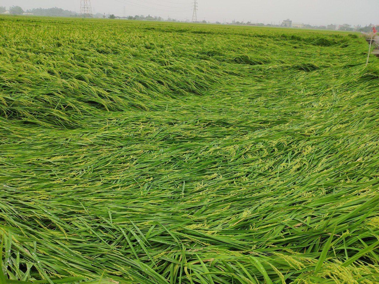 強降雨肆虐,收成在即台南一期稻作陸續傳倒伏情事,農民相當無奈。記者謝進盛/攝影
